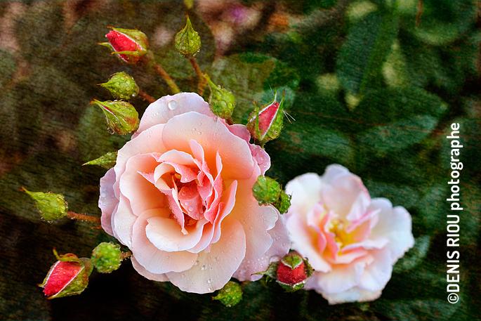 Roses «Martin des Senteurs»