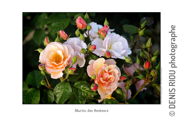 Martin des Senteurs 189 © Denis Riou Photographe